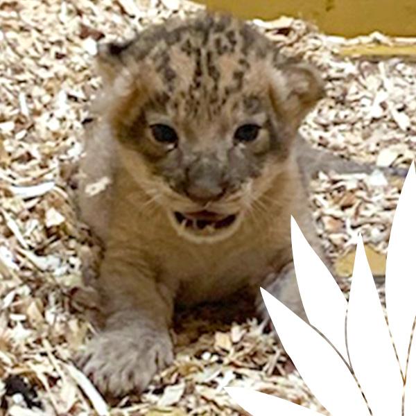 Baby Lion Registry Thumbs Animal Care